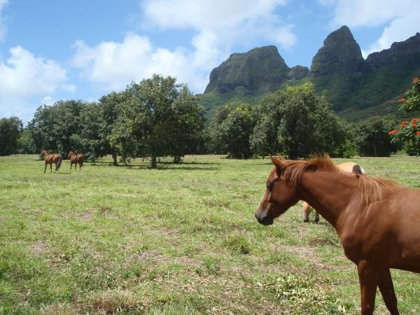 Moloaa Horse