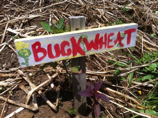 Buckwheat growing at Mala'ai Garden at Waimea Middle School