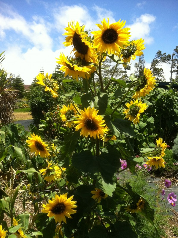 Sunflowers growing at Mala'ai Garden at Waimea Middle School
