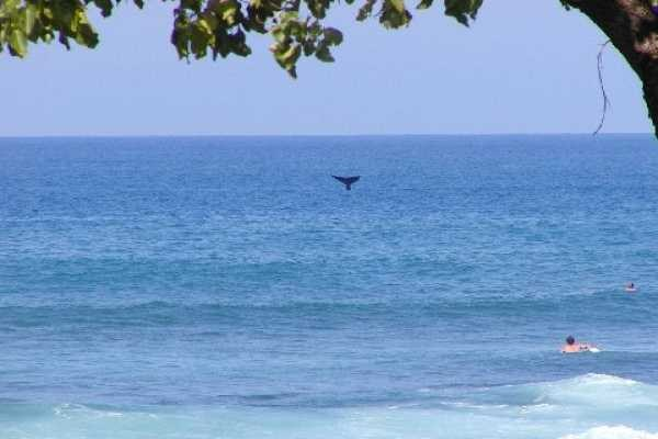 pauoa beach whale tail