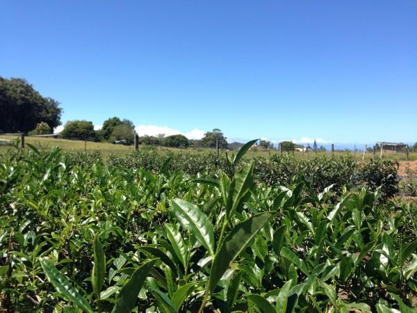 Maui Tea Field