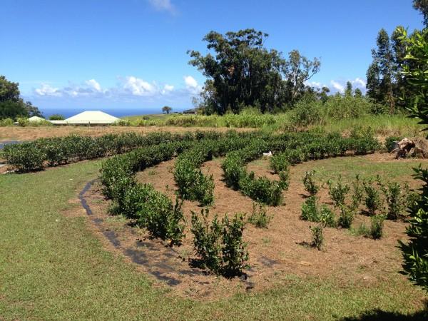 Na Liko Tea Field