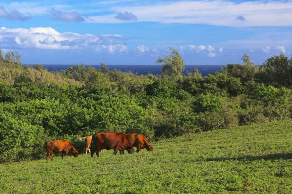 Cattle graze vacant land for sale in Kohala