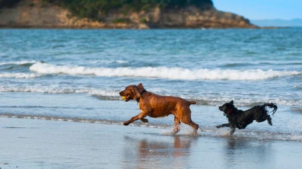 beachdogs