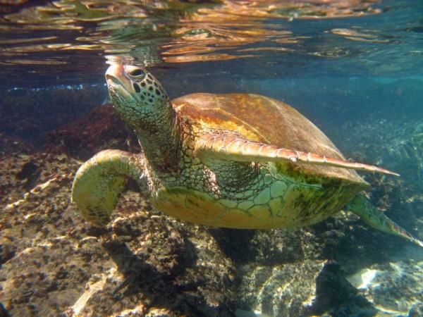 sea turtle at black rock