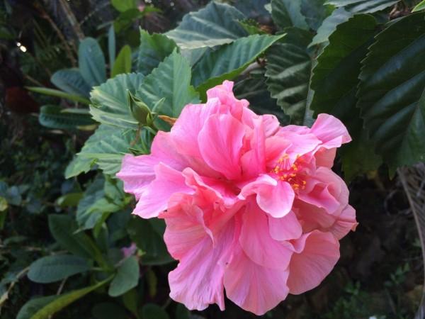 Kauai pink hibiscus