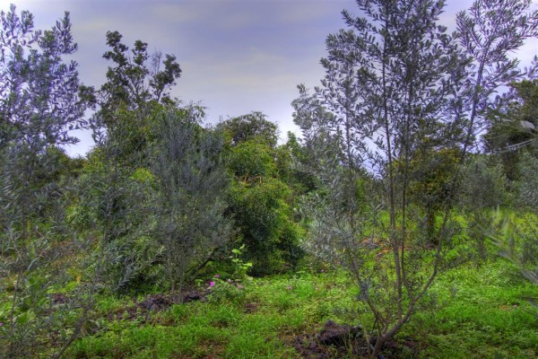 Carmen olive grove