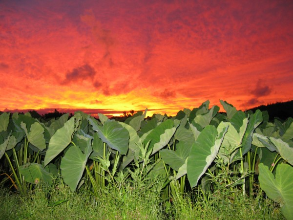 hanalei sunrise taro filed