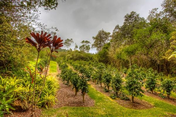 Coffee trees growing in Hualalai Farms