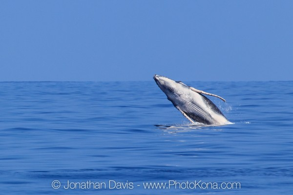 Humpback whale breach captured yesterday by Jonathan Davis from his boat