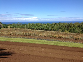 Row Crops of White Pineapple at Sage Farms in North Kohala on the Big Island of Hawaii
