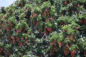 Lychee tree pc Tim Mira R(B)