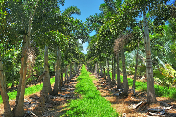 palm tree field stock for sale