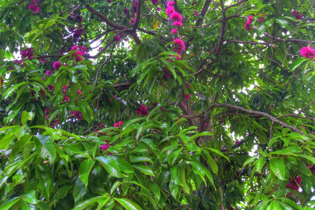 Lionel mountain apple blossom