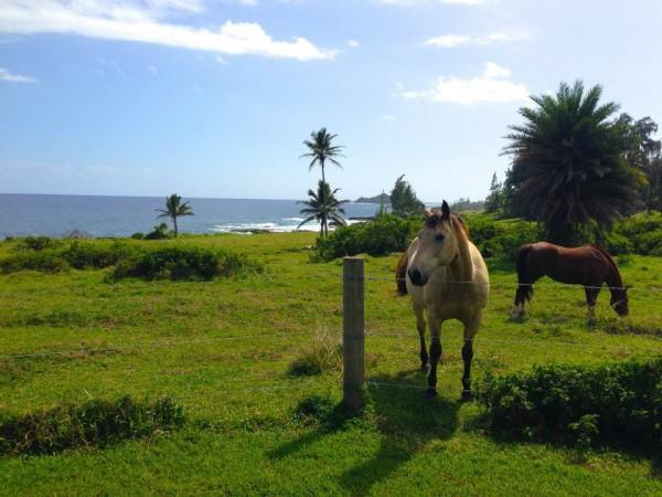 Hana horses