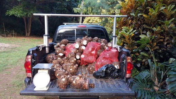 Truck laden with kalo (taro) corms from First Harvest