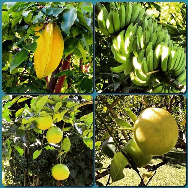 Tropical fruits are bountiful at 435 Ho'olawa Road