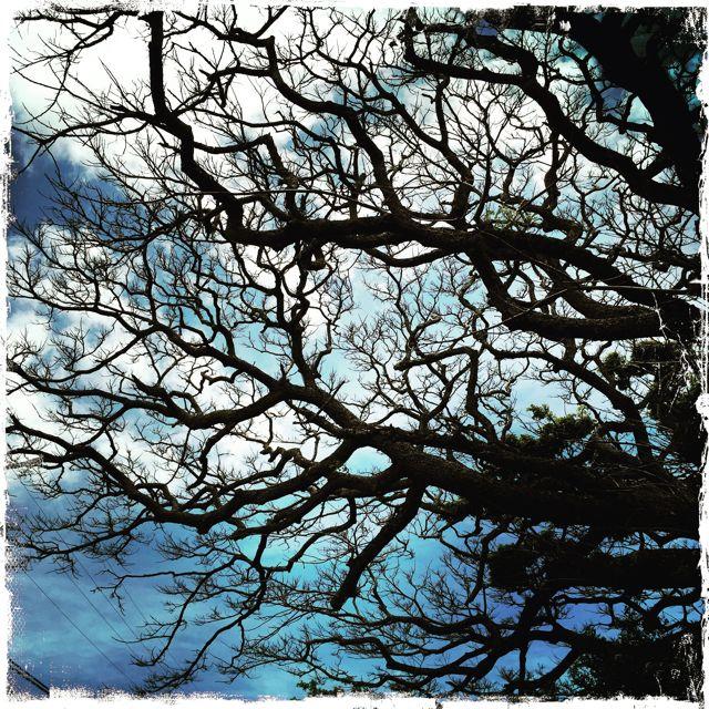 trees and blue skies in Makawao Maui HI