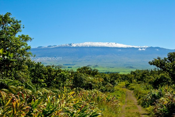 A Tract Of Forestland On The Northeast Slopes Mauna Kea Is Protected By Hawaiian Islands Land Trust