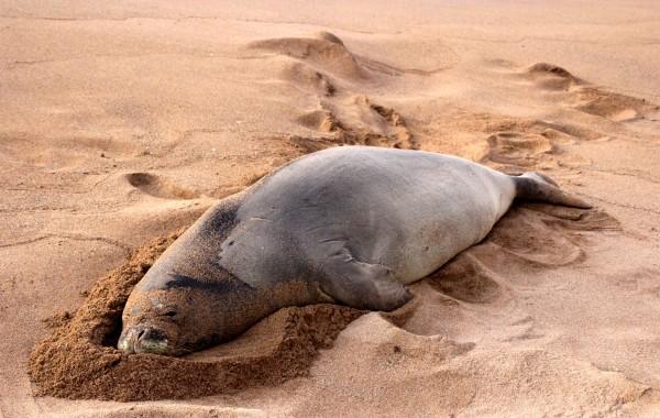 Kahana Village monk seal