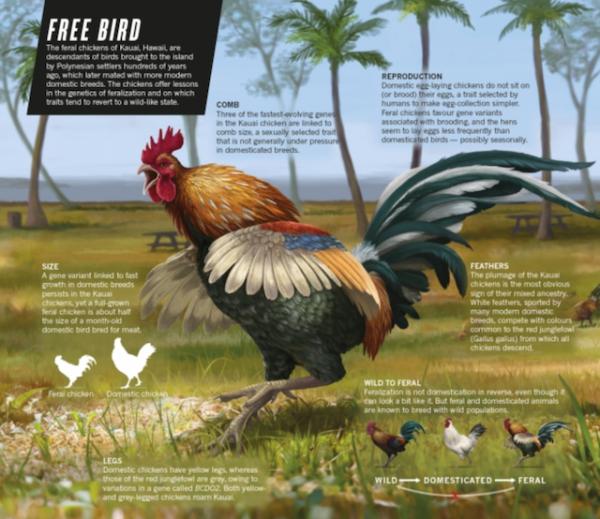 Feral chicken of Kauai