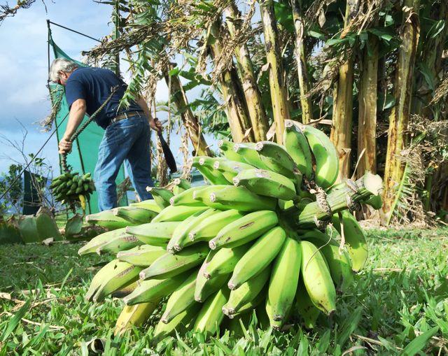 Harvesting bananas in Haiku Maui