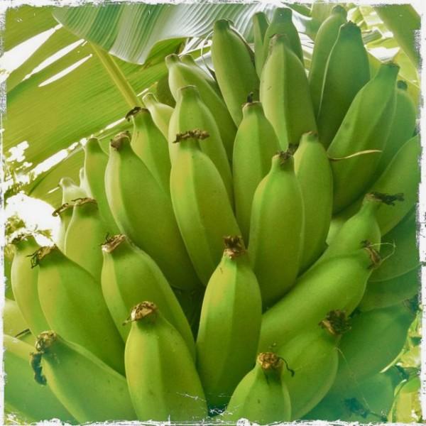 Bananas growing in Haiku Maui