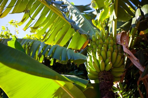 Chinese Banana