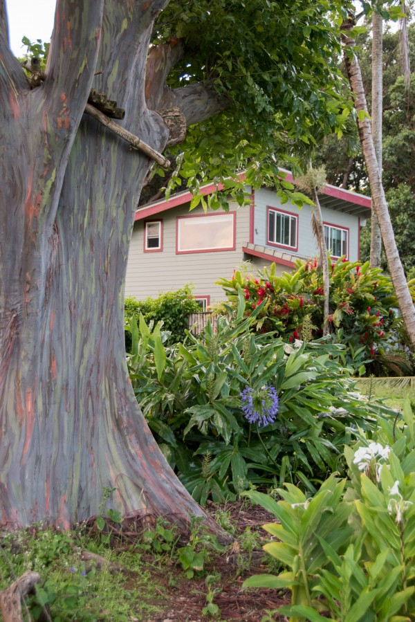Cottage front with rainbow eucalyptus tree