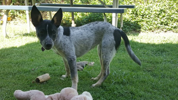 Keiki, a small terrier/blue healer mix has proven to be an excellent ratter.