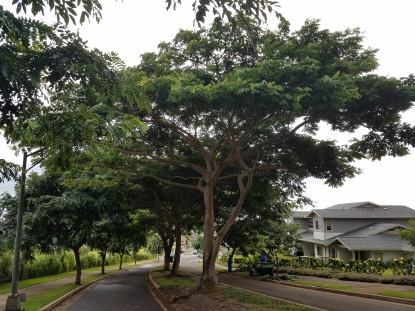 Mature tree lined boulevard leads to the entrance of Alohilani