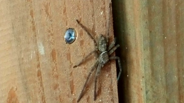 The scary yet harmless cane spider