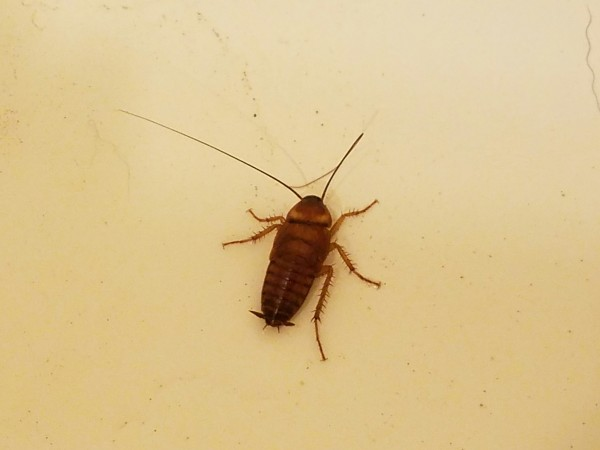 A cockroach, most commonly found in kitchens and bathrooms