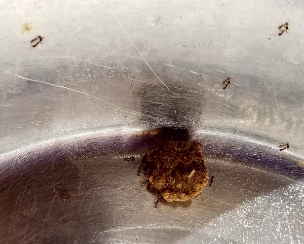 An army of ants attacking a remaining kibble in the dog's bowl.