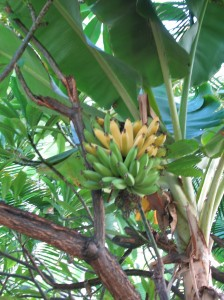 Bananas are actually in the Herb family