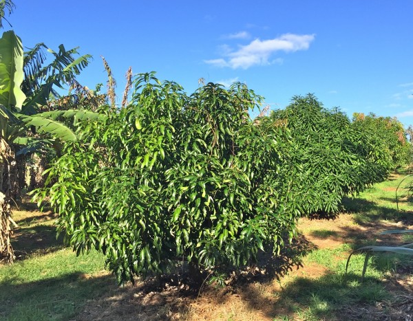 Rows of productive fruit trees