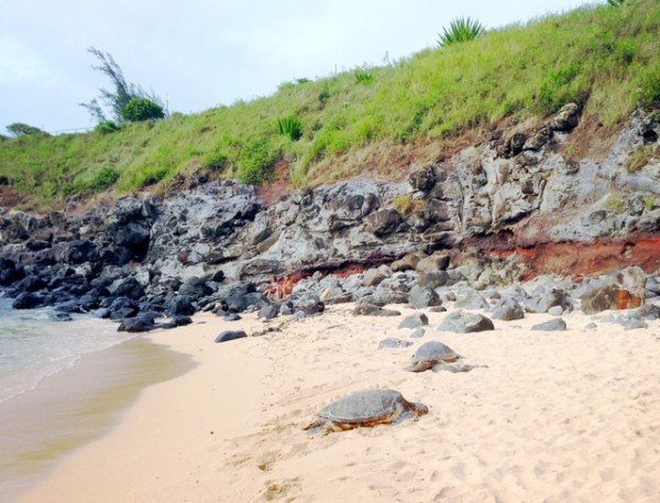 Sunbathing turtles at Ho'okipa Beach