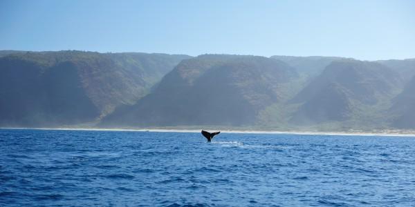 Humback Whale and Rugged Napali Coastline of Kauai, Hawaii, USA.